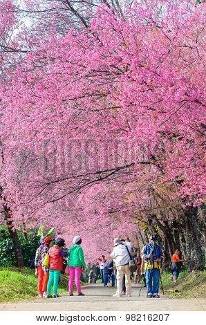 Chiang Mai, Thailand-january16 : The Tourists Admiring The Beautiful Cherry Blossom Tree Garden On J