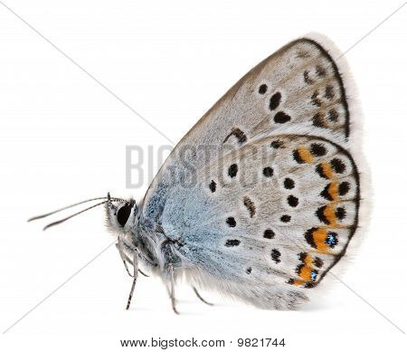 Silver-studded Blue, Plebejus Argus -species Of Lepidoptera, Called Also Hairstreak Butterfly, In Fr