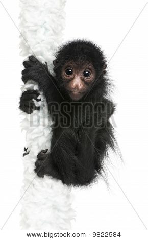 Red-faced Spider Monkey, Ateles Paniscus, 3 Months Old, Hanging On Rope In Front Of White Background