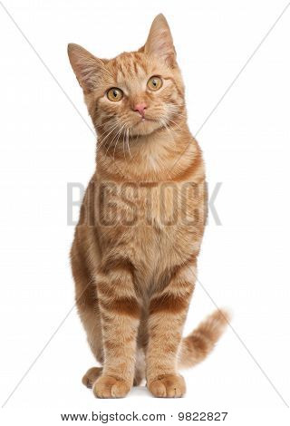 Ginger Mixed Breed Cat, 6 Months Old, Sitting In Front Of White Background