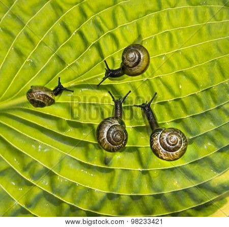 Four garden snails are crawling through a green leaf Hosta fortunei Marginato-alba