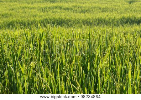 Paddy Rice Fields Of Agriculture Cultivation