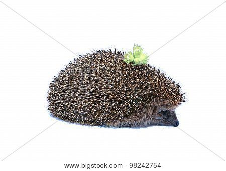 Forest Hedgehog With Nuts On The Back Isolated