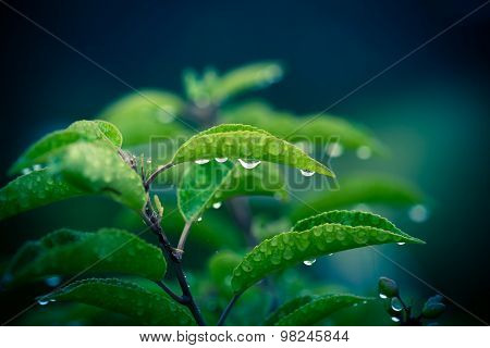 Green Plant With Drops Of Rain