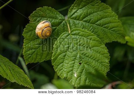 Snail With House On A Green Leaf