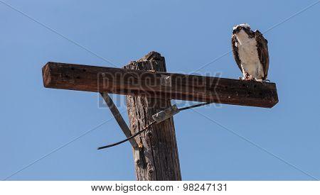 Osprey bird, Pandion haliaetus