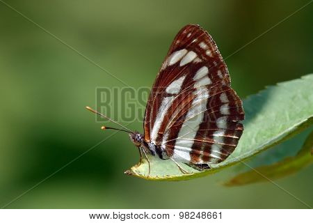 Nymphalidae Neptis sappho in natural habitat