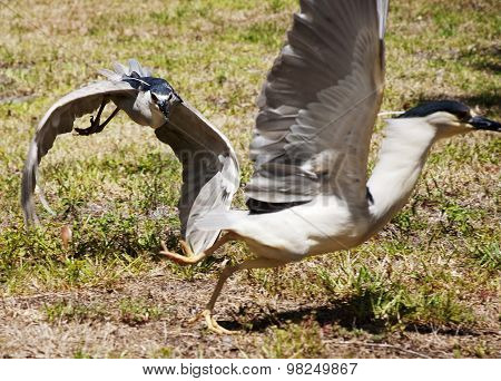 Two birds of Great blue heron chase each other on a background of nature.