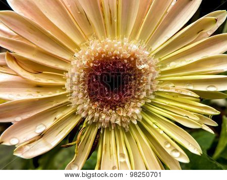 Pale Gerbera Flower with dew drops