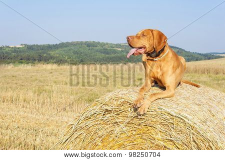 Hungarian Pointer Viszla on the harvested field on a hot summer day. Dog sitting on straw.