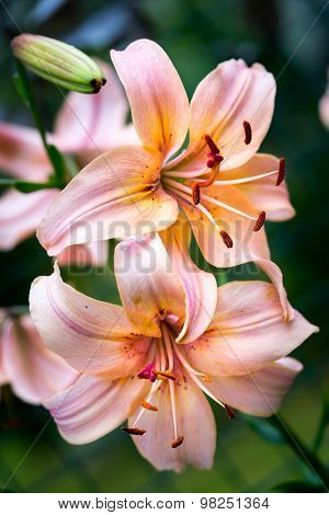 Two Lilies Peach Color In Nature
