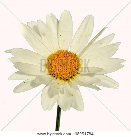Chamomile - Chamaemelum Nobile White Daisy Like Flower Isolated On White Background