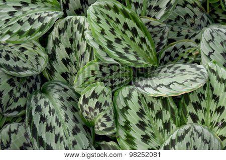 Medicinal plant - MARANTHACEAE  , Calathea picturata (Linden) K.Kosh & Linden cv.Vandenheckei