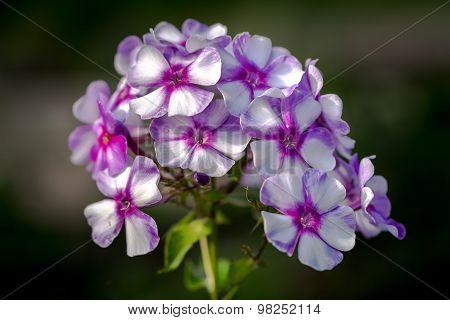 Perennial Phlox (phlox Paniculata - Laura) Growing In A Sunny Garden