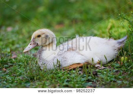 Young ducks lying on green grass on the farm