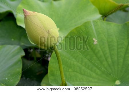Lotus flower budding and Green leaf lotus