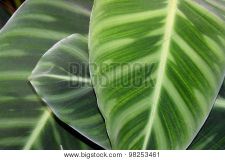 MARANTHACEAE - Green leaf layer nature abstract background