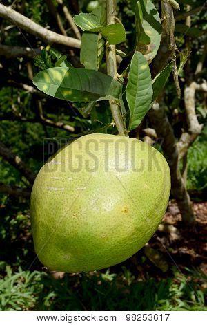 Citrus medica L. var. sarcodactylis (Hoola van Nooten) Swingle - RUTACEAE