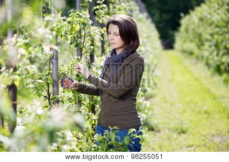 Woman Trimming Trees In The Orchard Fruit
