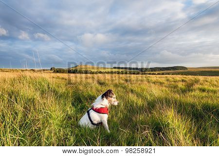 Jack Russell Terrier On The Moors