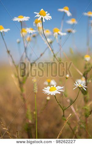 Summer Scene With Daisy And Sky