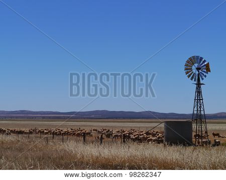 Sheep in the South Australian landscape
