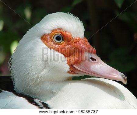 Musky Duck (cairina Moschata)