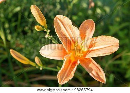 Single Flower Of Lily.