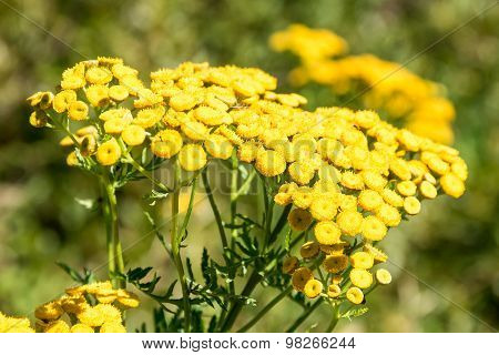 Tansy Flowers.