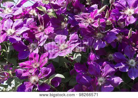 Violet Clematis Flowers.