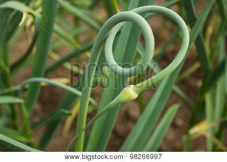 Curved Beautiful Arrows Garlic
