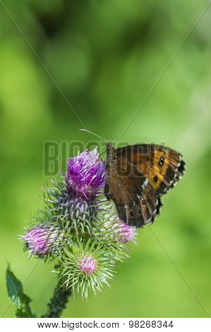 Brown Butterfly On A Violet Flower