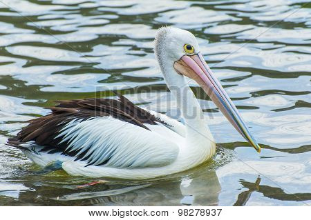 Australian pelican (Pelecanus conspicillatus) seen in the see of Eastern Australia.