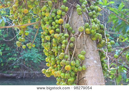Fruits figs on the tree
