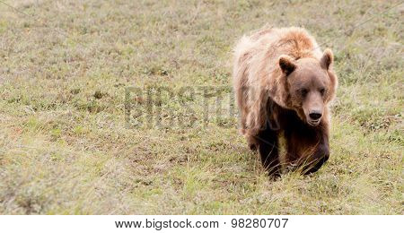 Large Grizzly Bear Grazes Denali National Park Wildlife