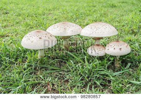 Poisonous Mushrooms.