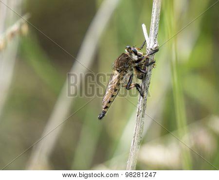 Robber Fly Killing Honey Bee
