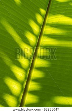 Shadow Plam Leaf On Banana Leaf