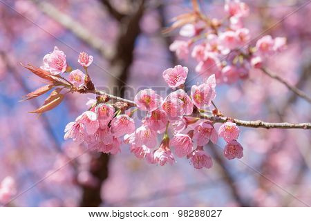 Beautiful pink cherry blossom (Sakura) flower at full bloom on blue sky.