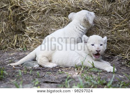 A Pride Of White Lion Cubs