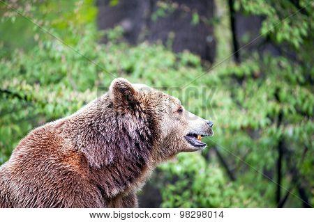 Side Of Brown Bear
