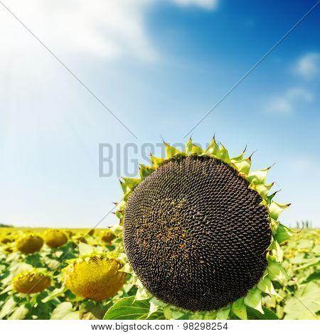 black sunflower on field. soft focus