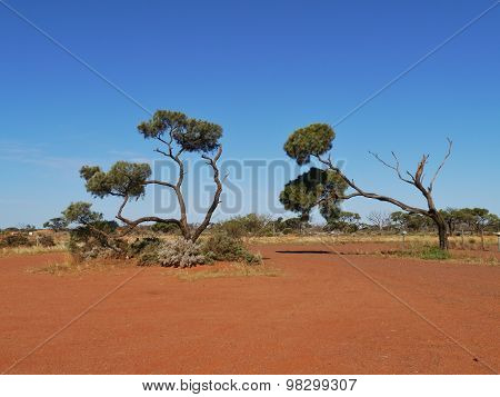 Decorative desert oaks