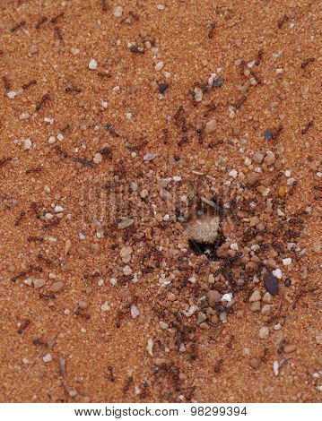 An ant nest in the red Australian desert