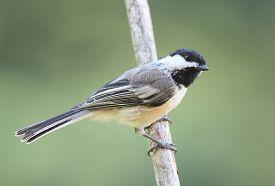picture of chickadee  - A black capped chickadee  - JPG