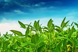 pic of soybeans  - Soybean crops in field soya bean growing on plantation blue sky in background selective focus - JPG