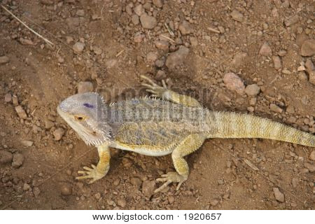 Spiney Lizard