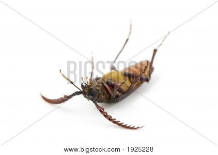 Dead Bug (California Prionus)
