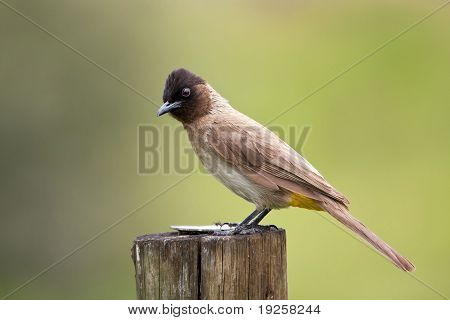 Black eyed bulbul sitting on a pole on green background