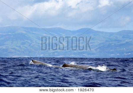 Sperm Whale At Sea